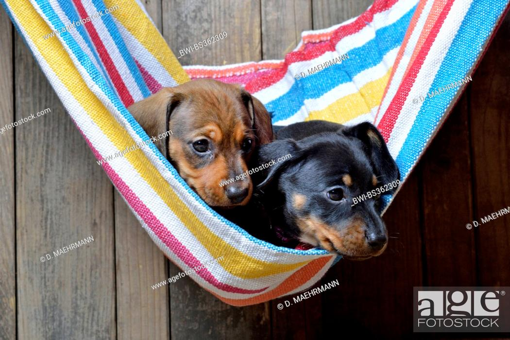 Stock Photo: Short-haired Dachshund, Short-haired sausage dog, domestic dog (Canis lupus f. familiaris), two dachshund puppies in a striped hammock, Germany.