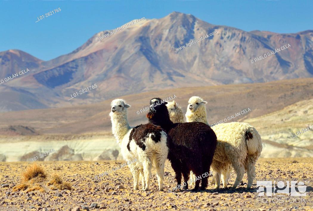 Stock Photo: Small herd of alpacas in Lauca National Park. Norte Grande region. Chile.