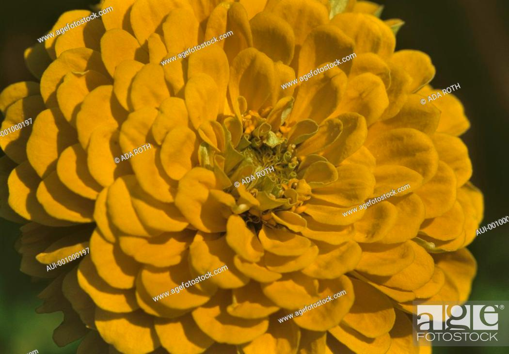 Stock Photo: Zinnia - yellow - a sturdy flower and yet passing.