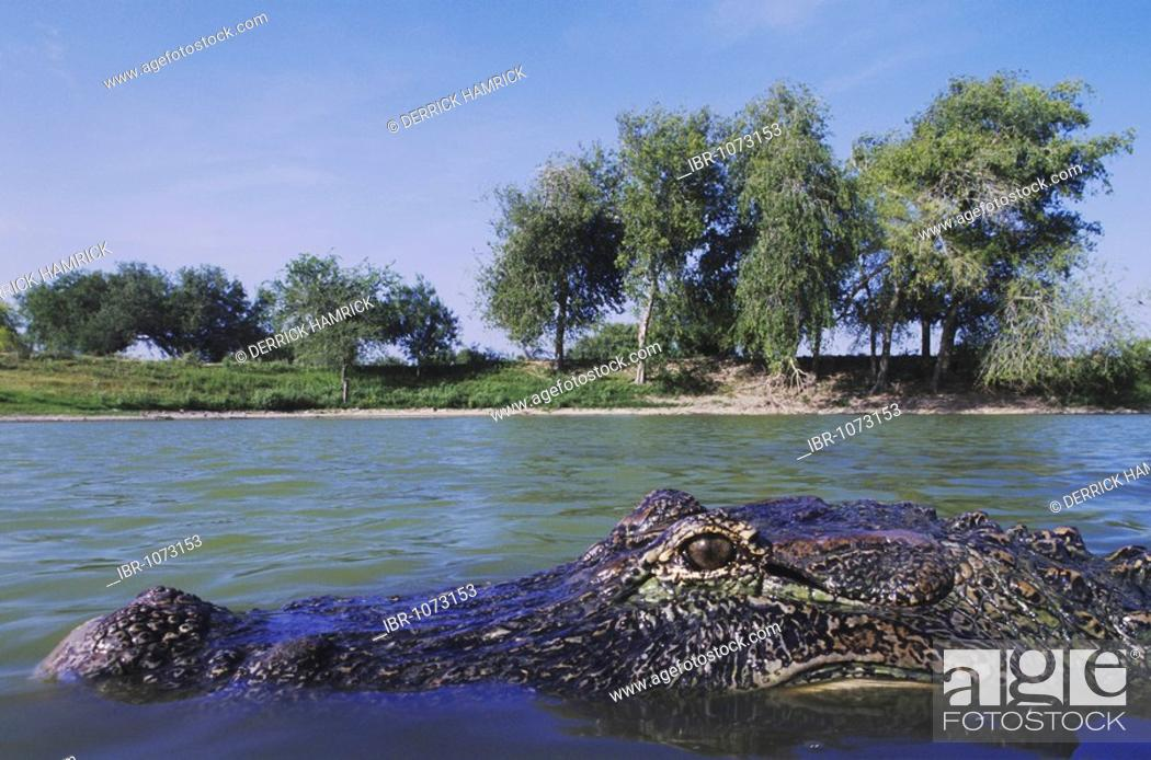 Stock Photo: American Alligator (Alligator mississipiensis), adult in pond habitat, Rio Grande Valley, Texas, USA.
