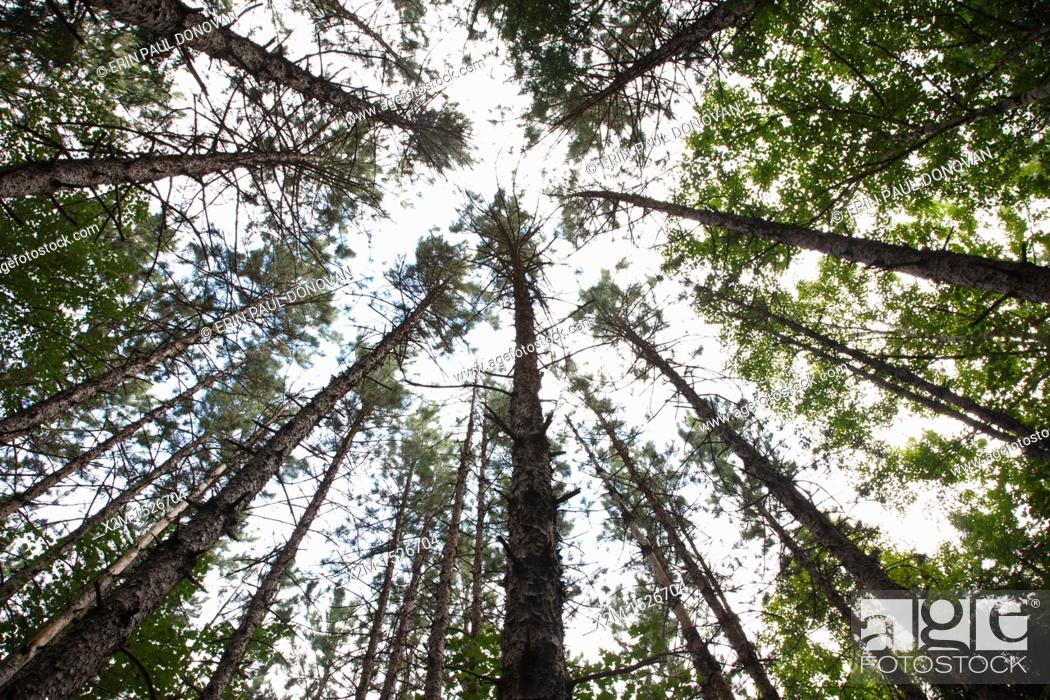 Stock Photo: Canopy of Red Pine Forest  Pinus resinosa  during the summer months in Albany, New Hampshire USA.