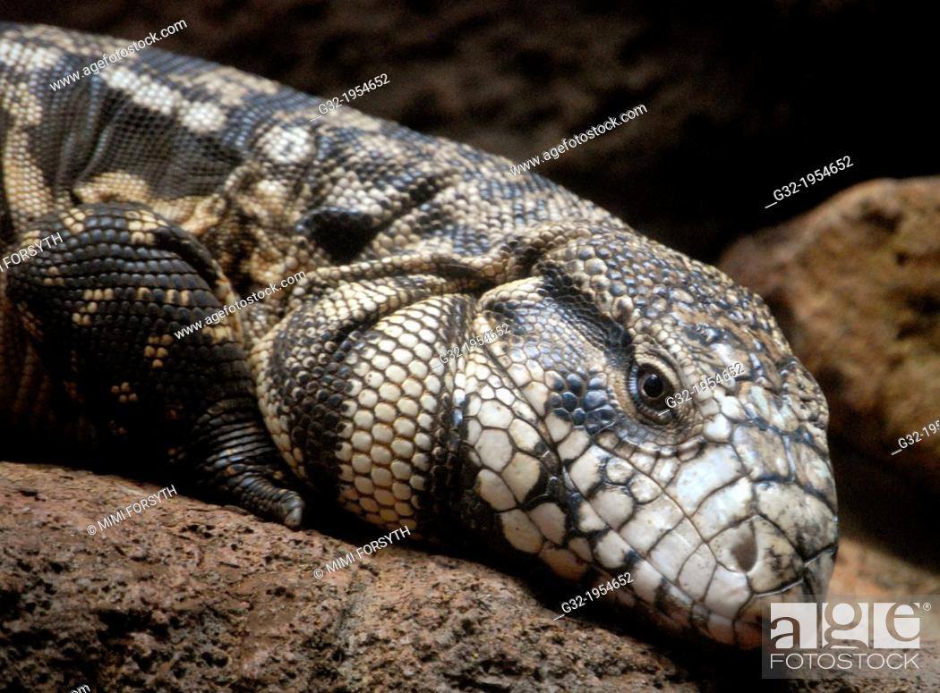 Imagen: Black Tegu (Tupinambis teguixen)Lizard of Eastern Central & South America (photographed at Honolulu zoo, Hawai'i.).