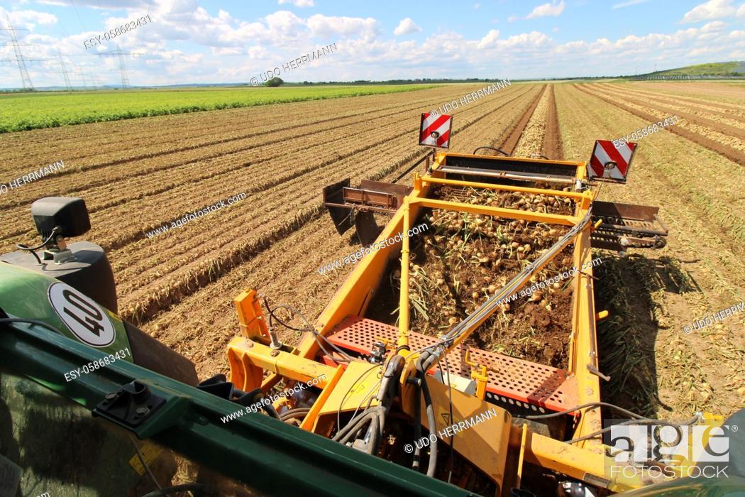 Stock Photo: Agricultural bulb harvest.