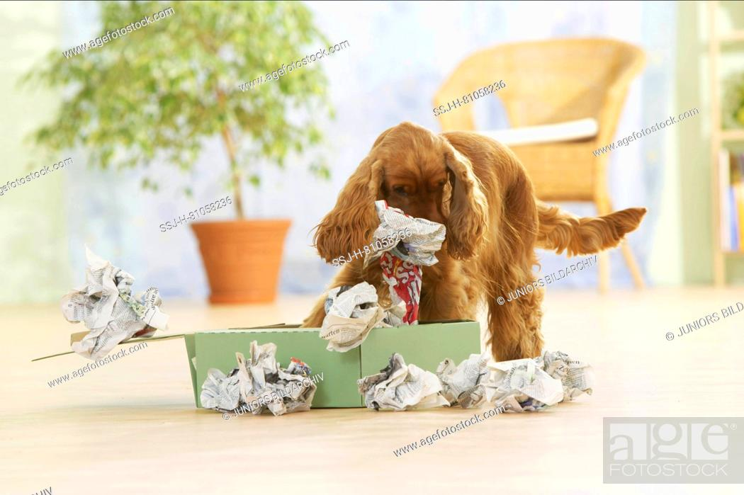 Stock Photo: English Cocker Spaniel, Adult dog investigating a box filled with paper. Germany.
