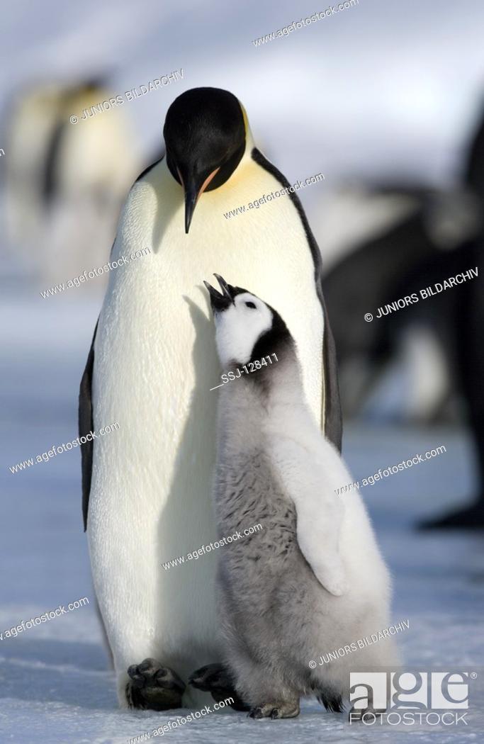 Stock Photo: emperor penguin with cub - Aptenodytes forsteri.