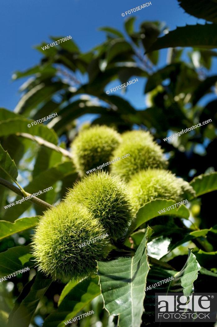 Stock Photo: Chestnut bur.