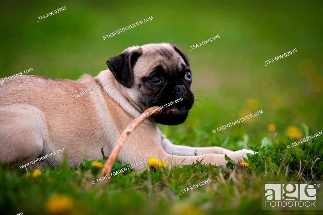 Stock Photo: lying Jack-Russell-Pug-Mongrel.