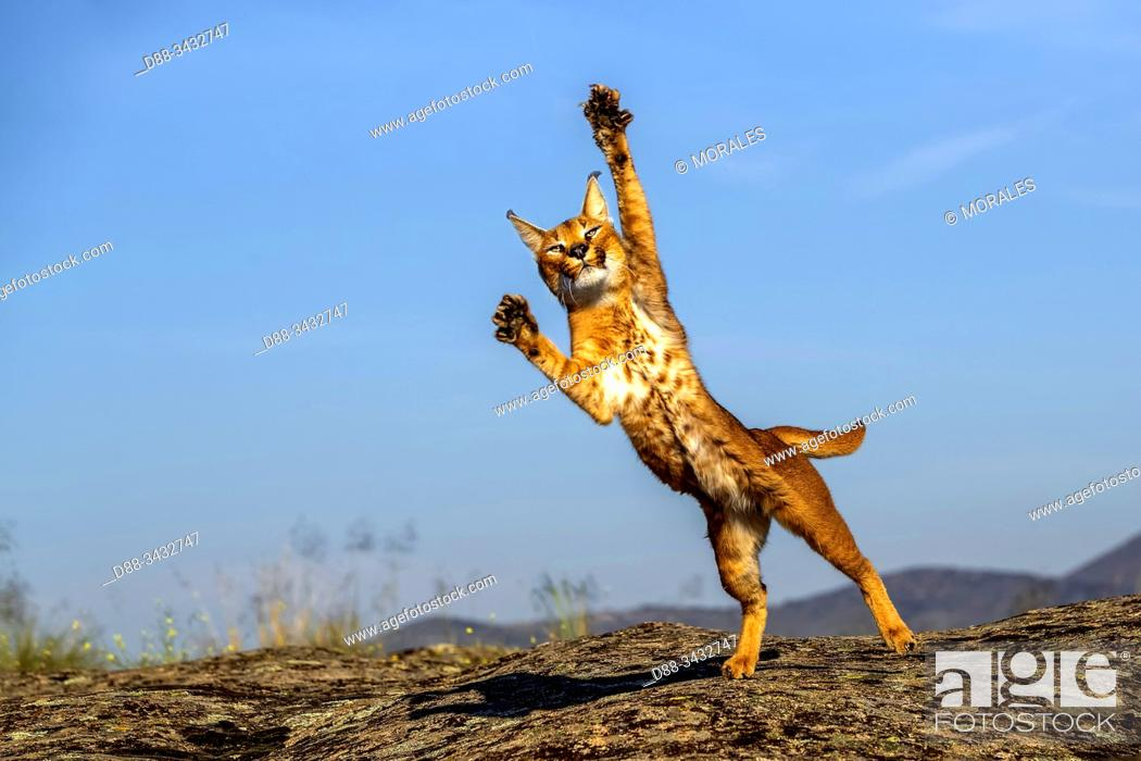 Stock Photo: Caracal (Caracal caracal), Occurs in Africa and Asia, Adult animal, Male, Jumping, Captive.