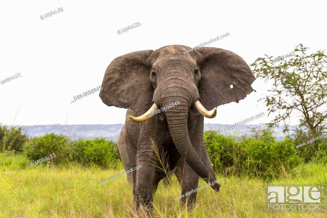 Photo de stock: Elephant (Loxodonta africana) gather in the rainy season to graze the lush grasslands at Ishasha in the southwest sector of the Queen Elizabeth National Park.