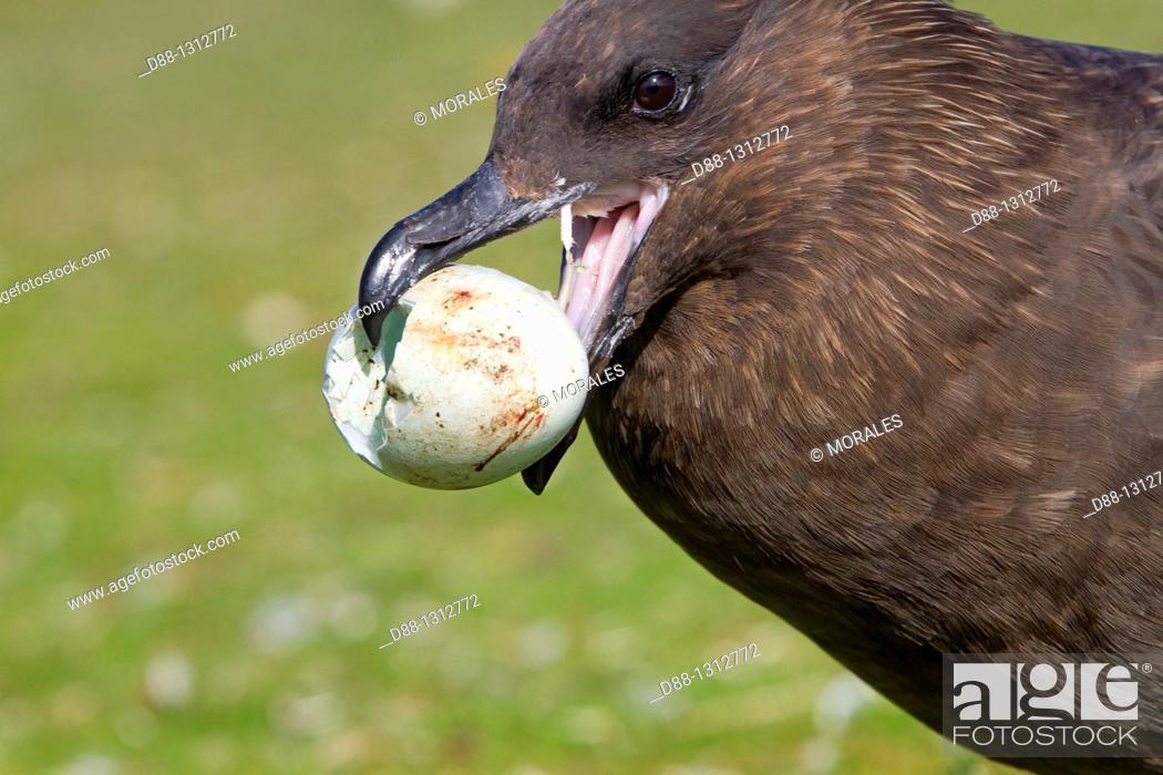 Stock Photo: Falkland Islands , Pebble island , Falkland Skua Sea-hen ,  Catharacta antarctica  with an egg of penguin.