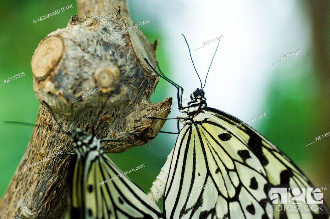 Stock Photo: Two paper Kite butterflies on tree.