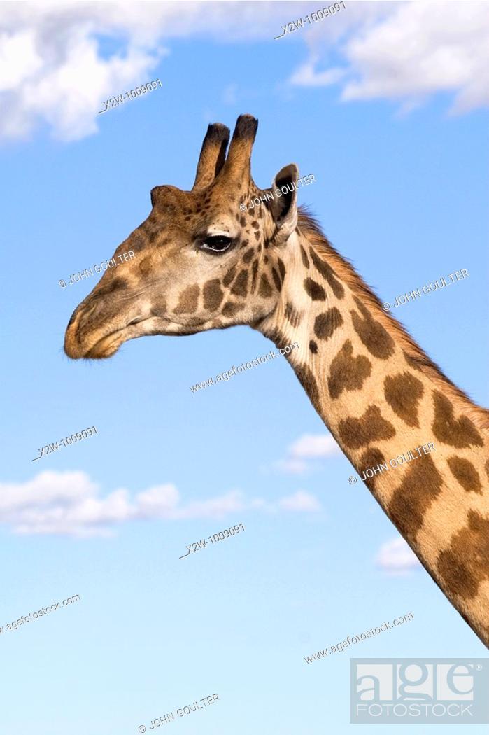 Stock Photo: Giraffe  Giraffa camelopardalis  Masai.