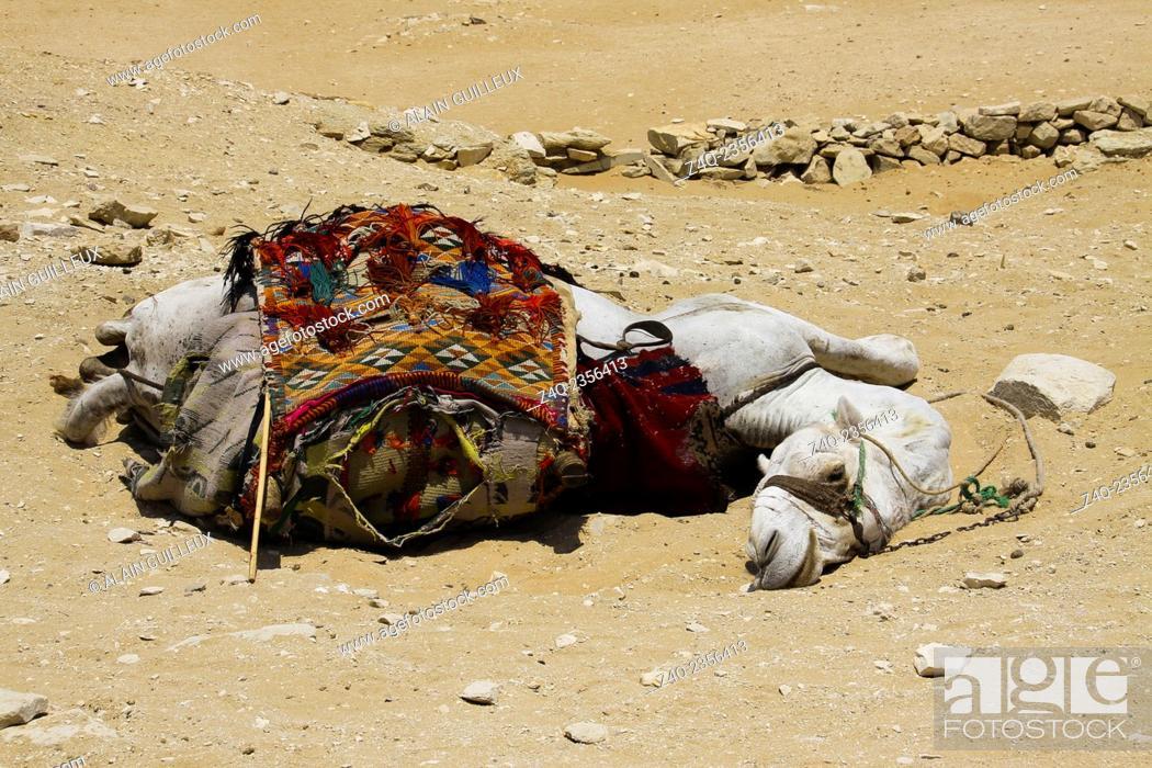 Imagen: Egypt, Saqqara necropolis, a camel sleeps on the sand, by a very hot summer.