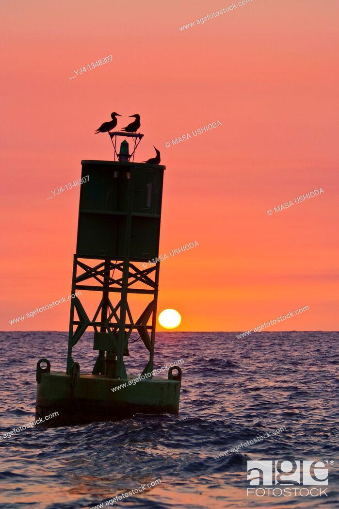 Stock Photo: silhouette of brown boobies, Sula leucogaster, resting on navigational buoy aka green can at sunset, Kona Coast, Big Island, Hawaii, USA, Pacific Ocean.