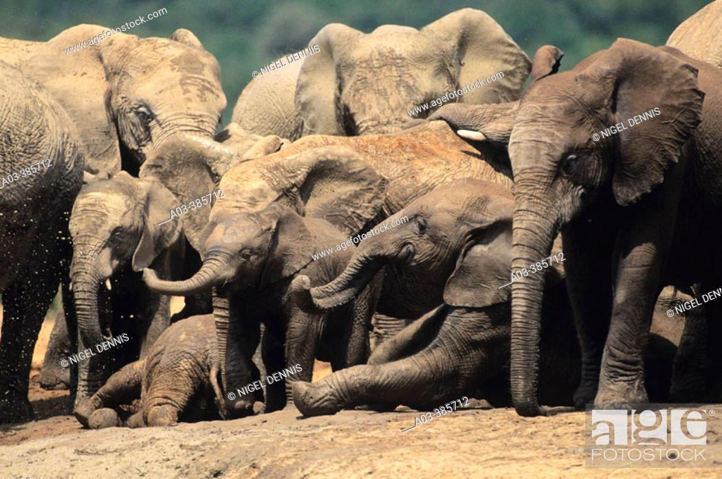 Stock Photo: Breeding herd of Elephants (Loxodonta africana). Addo Elephant National Park. South Africa.
