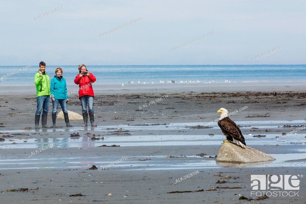 Stock Photo: Group of tourists photograph a Bald Eagle perched on a rock, Bishop's Beach, Anchor Point, Southcentral Alaska, USA.