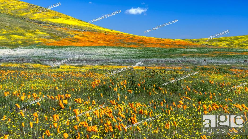 Stock Photo: The hills and plains covered in wildflowers of the 2019 Superbloom in Antelope Valley, California, USA.
