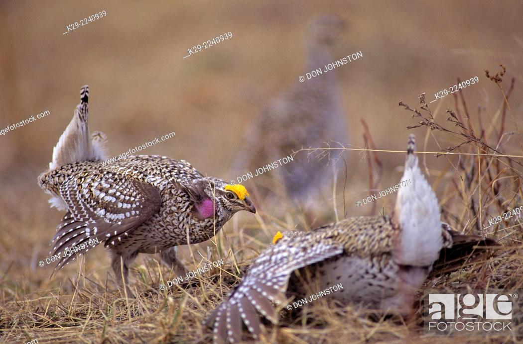 Stock Photo: Sharp-tailed grouse (Pedioecetes phasianellus) male displaying on courtship lek, near Little Current, Manitoulin Island, Ontario, Canada.