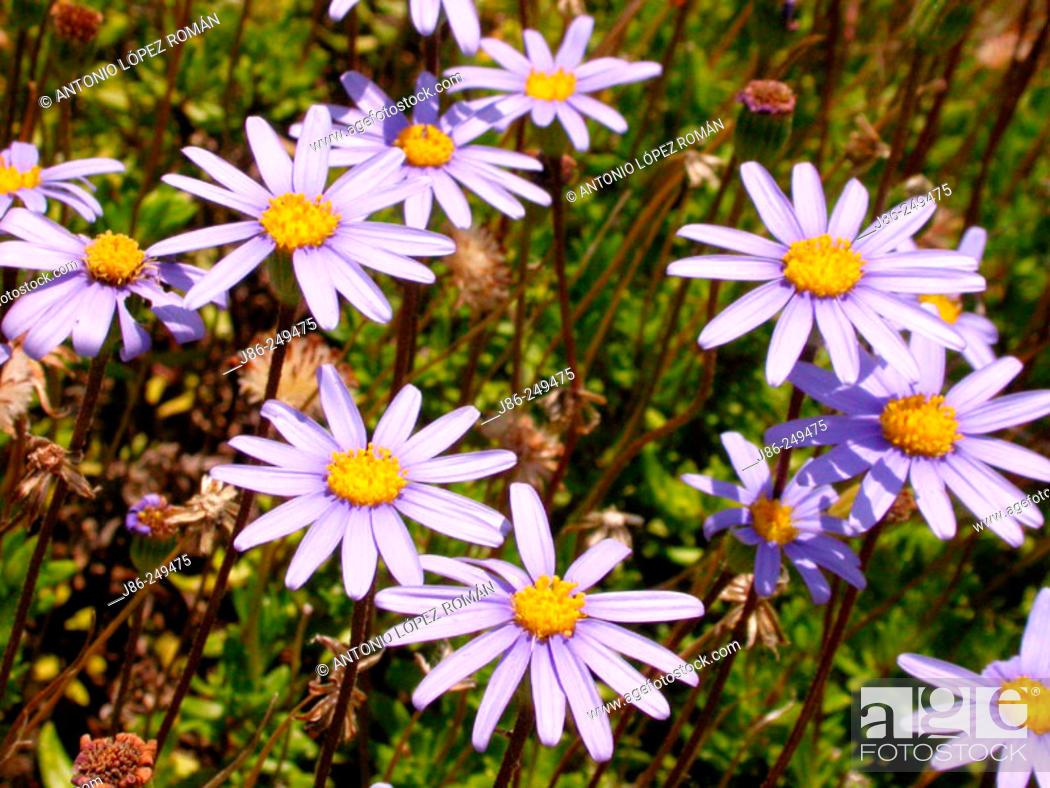 Stock Photo: Flowers (Felicia amelloides).