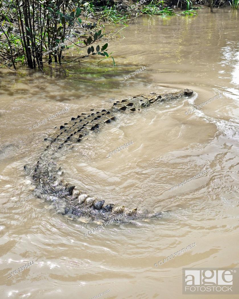 Stock Photo: American Crocodile, Guanacaste, Costa-Rica.