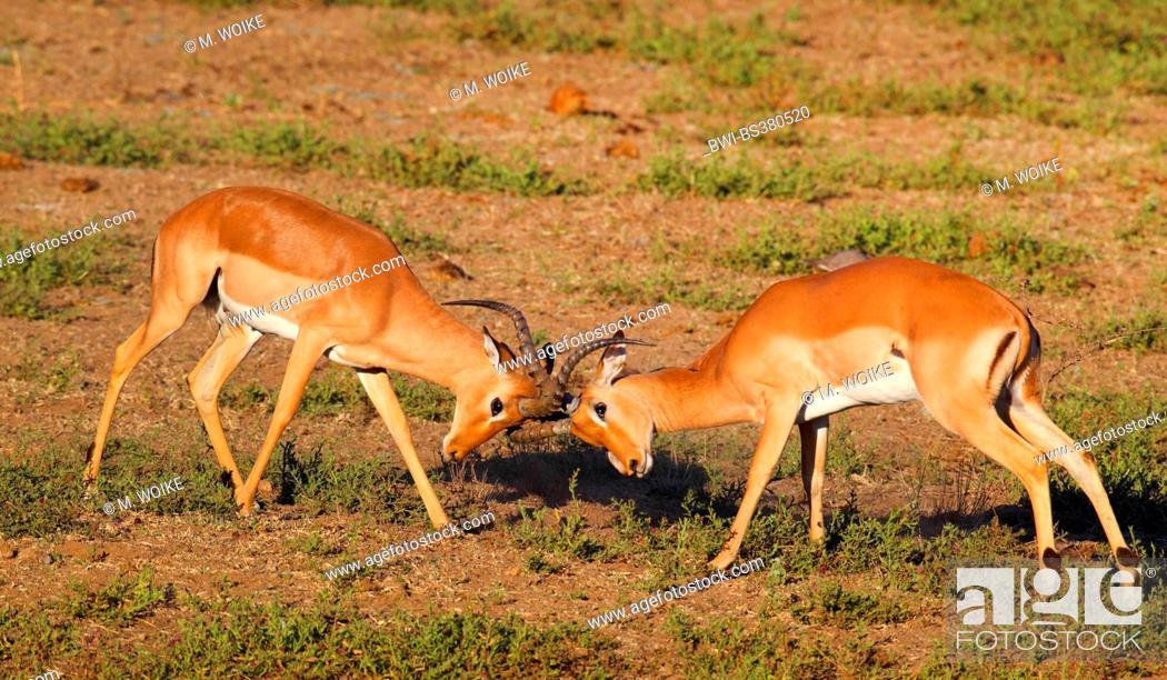 Imagen: impala (Aepyceros melampus), two fighting males, South Africa, Krueger National Park.