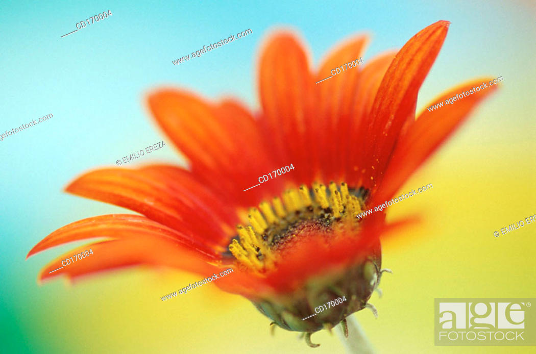 Stock Photo: Arctotis hybr.