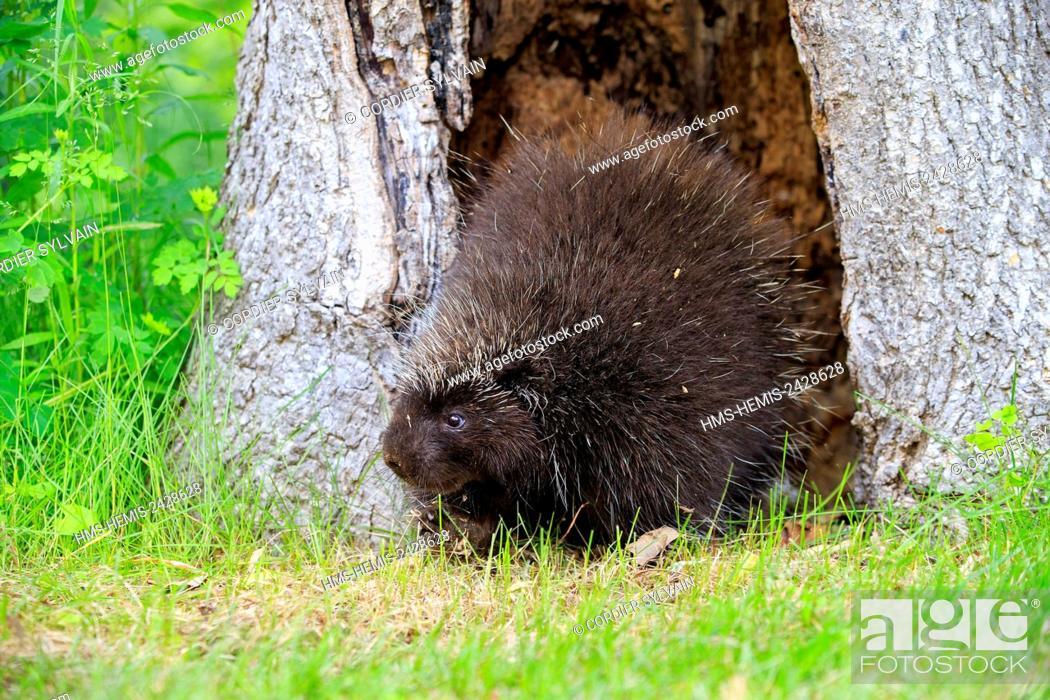 Stock Photo: United States, Minnesota, Porcupine (Erethizon dorsatum),.