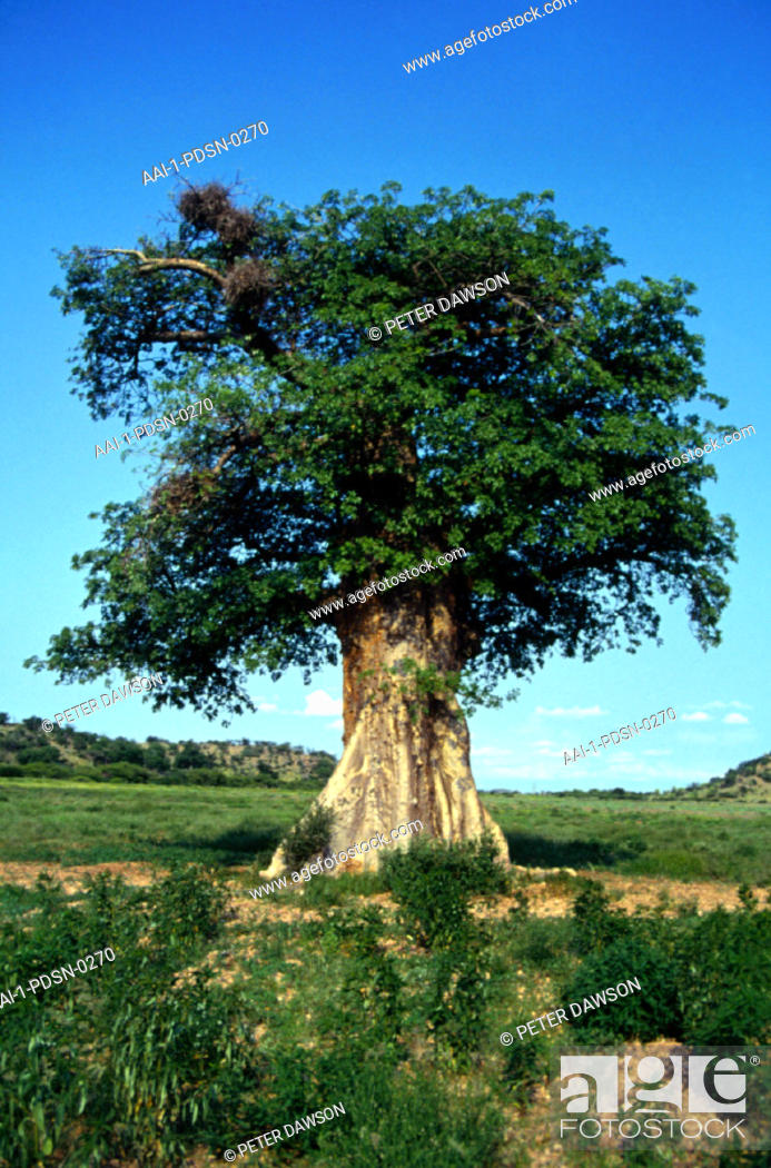 Stock Photo: Baobab Tree , Zimbabwe.