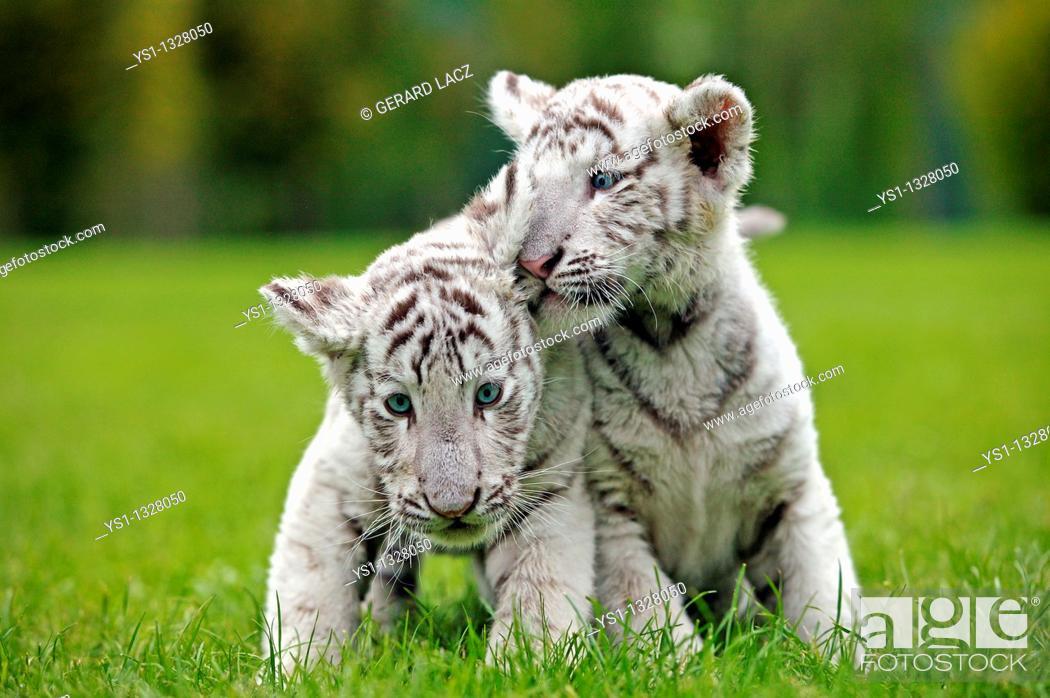 Stock Photo: WHITE TIGER panthera tigris, CUB STANDING ON GRASS.