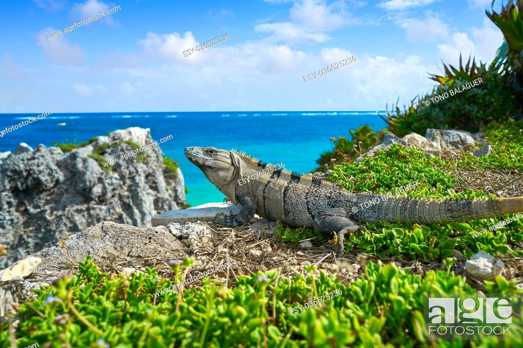 Stock Photo: Mexican iguana in Tulum with Caribbean sea of Riviera Maya Mexico.