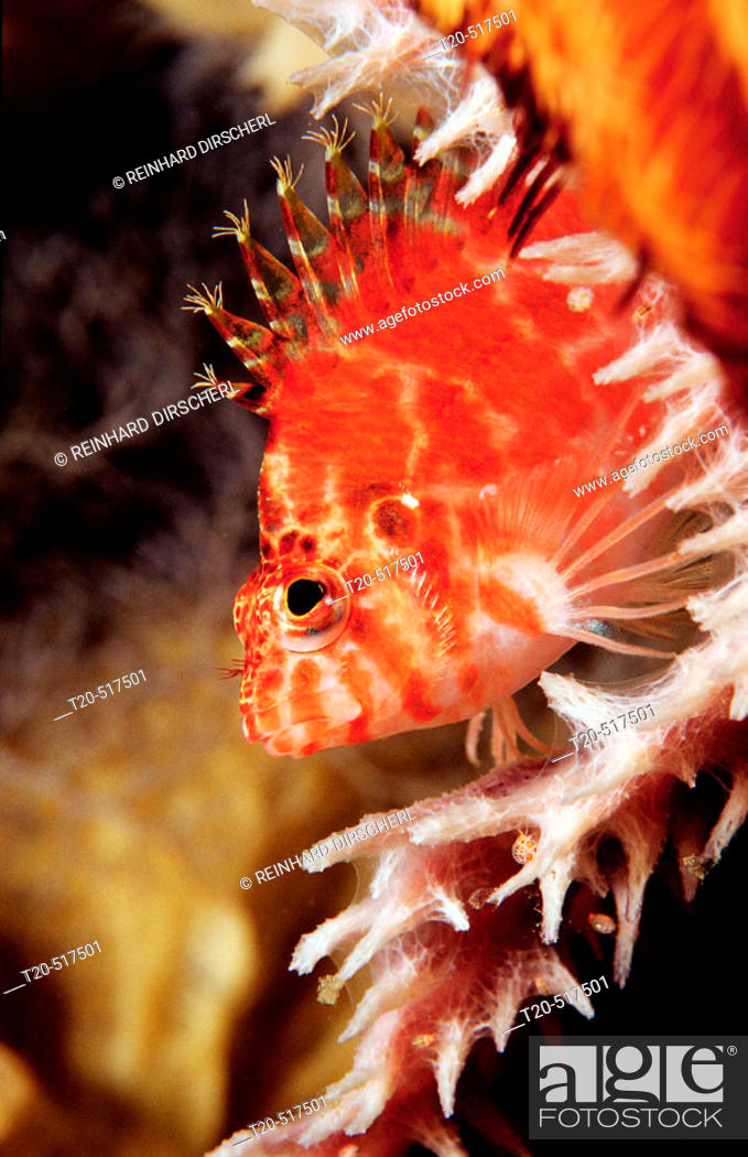 Stock Photo: Dwarf hawkfish, Cirrhitichthys falco. Indian Ocean, Komodo National Park. Indonesia.