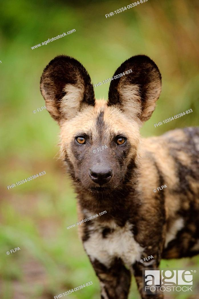 Stock Photo: African Wild Dog Lycaon pictus pup, close-up of head, Kwando Lagoon, Linyanti, Botswana.
