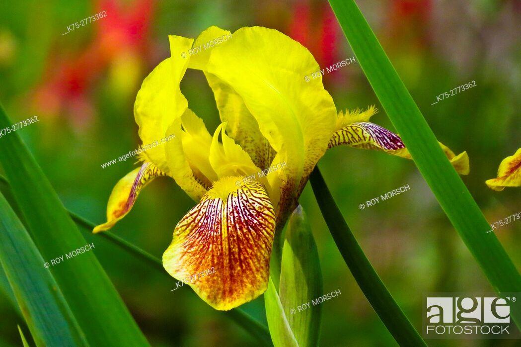 Stock Photo: yellow bearded iris.
