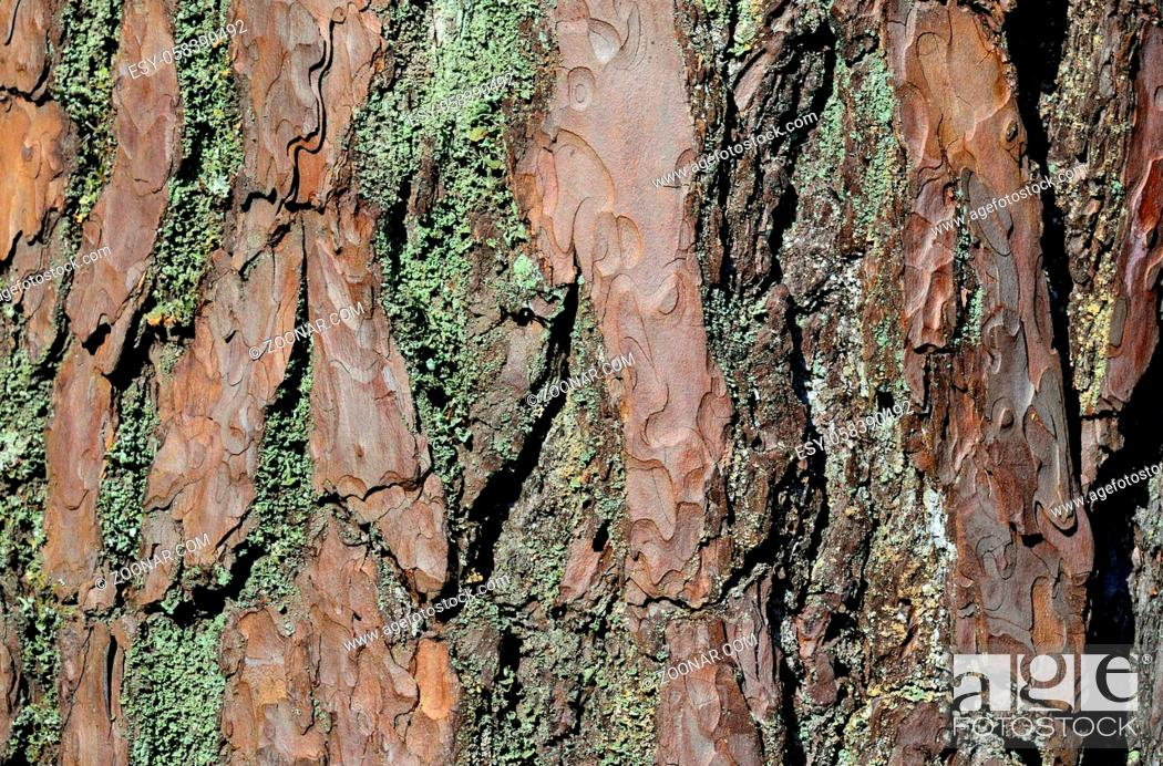 Imagen: Pine bark, covered with lichen, close-up. Beautiful natural background.