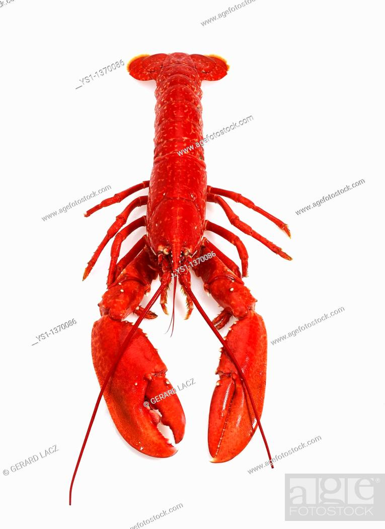 Stock Photo: BOILED LOBSTER homarus gammarus AGAINST WHITE BACKGROUND.