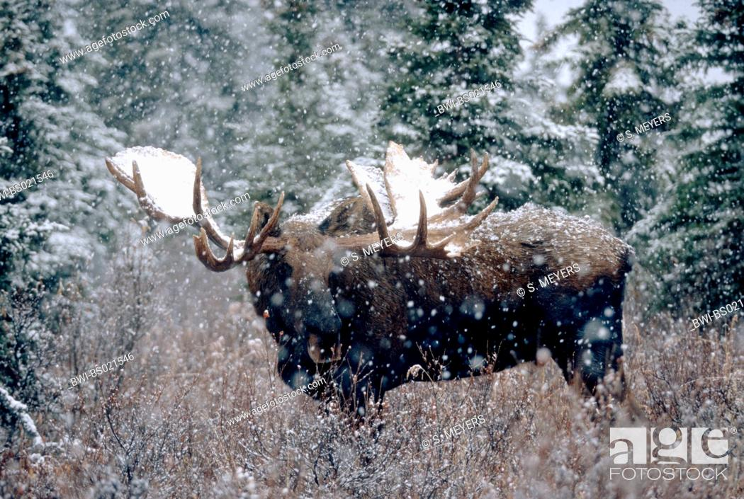 Stock Photo: Alaska moose, Tundra moose, Yukon moose (Alces alces gigas, Alces gigas), bull in snowfall, largest deer species, USA, Alaska, Denali Nationalpark.