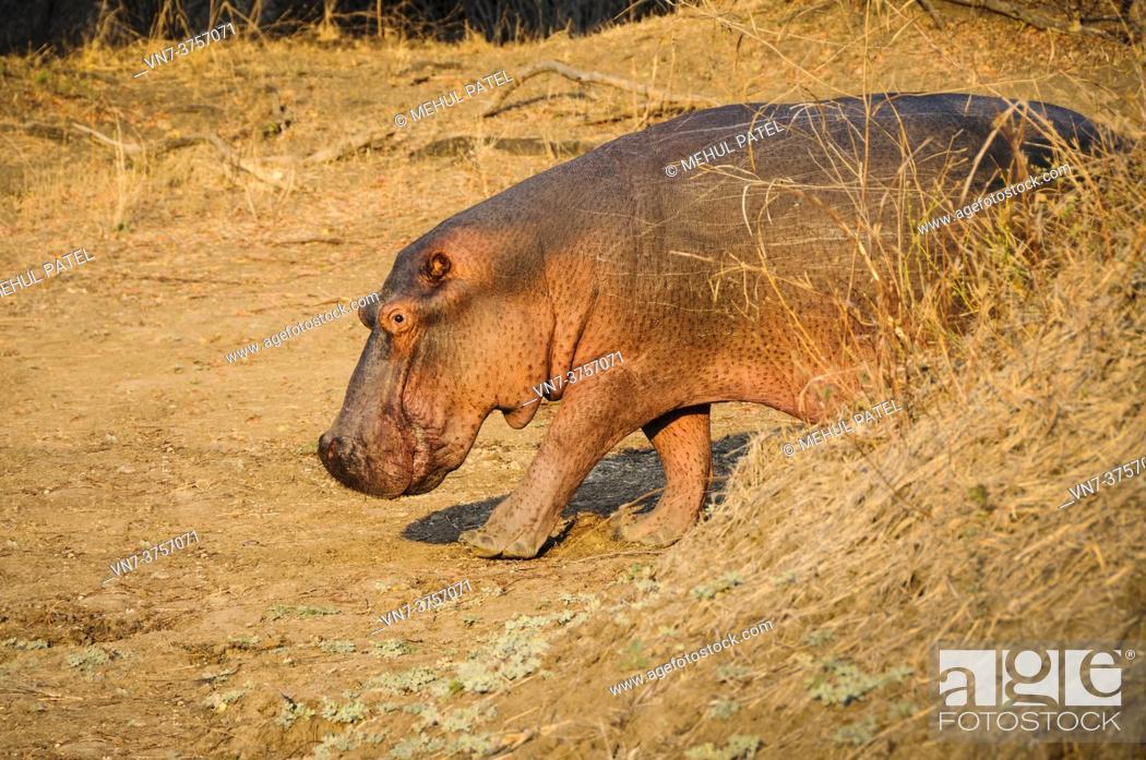 Stock Photo: Hippo (Hippopotamus amphibius) walking on dry land in the Luangwa Valley, South Luangwa National Park, Zambia, Africa.