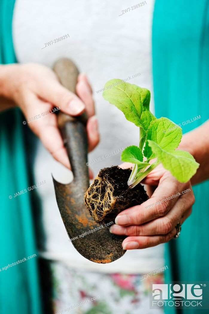 Stock Photo: Digitalis Foxglove young plant resting on hand trowel being held in female hands close up.