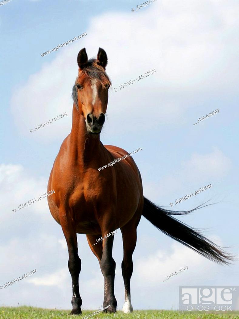 Stock Photo: Swedish Warmblood horse.