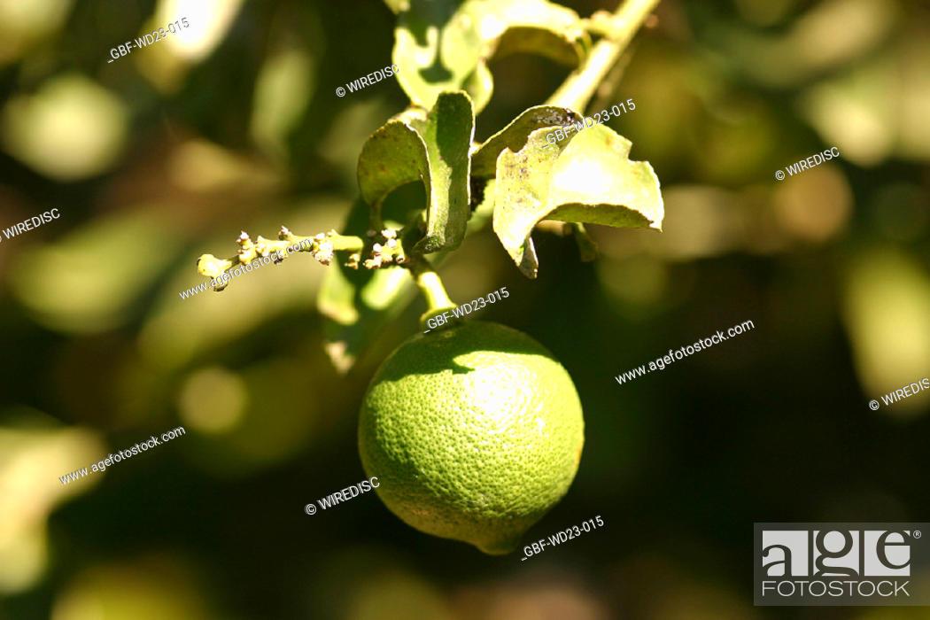 Stock Photo: Plantations, lemon, agriculture, Brazil.