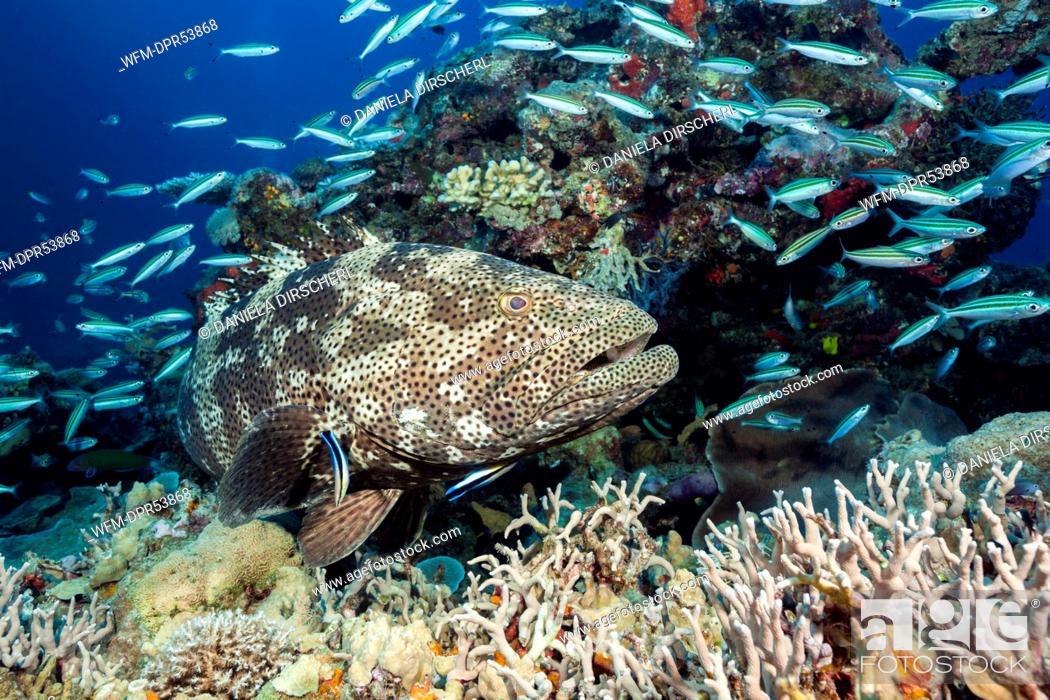 Stock Photo: Malabar Grouper at Cleaning Station, Epinephelus malabaricus, Osprey Reef, Coral Sea, Australia.
