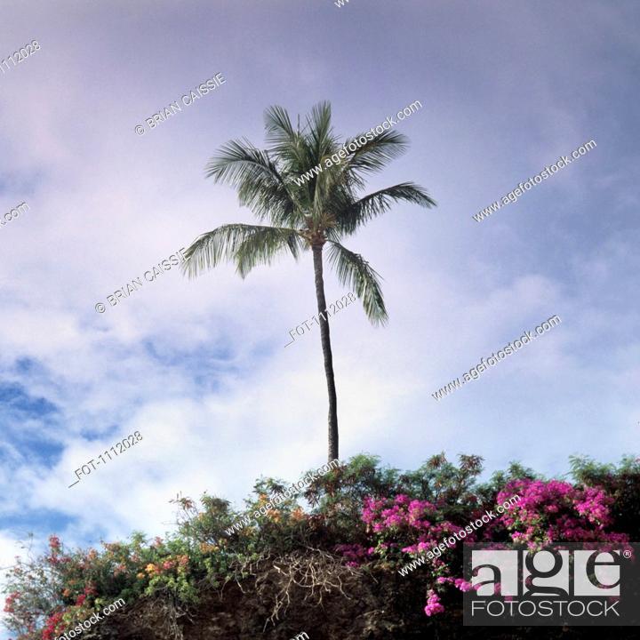 Stock Photo: A palm tree and lush foliage, Maui, Hawaii.