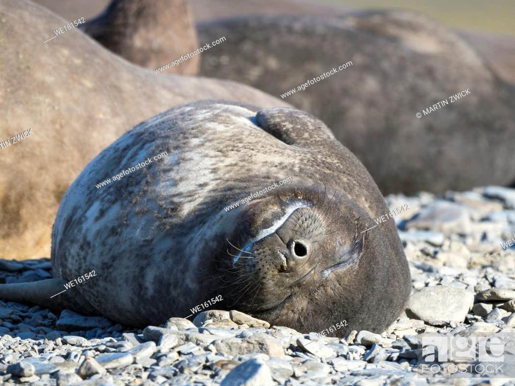 Stock Photo: Southern elephant seal (Mirounga leonina), pup on beach. Antarctica, Subantarctica, South Georgia, October.