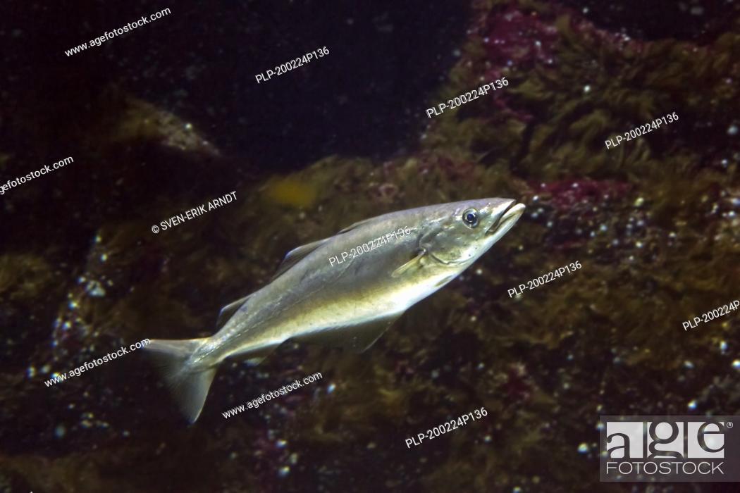 Imagen: Atlantic pollock / European pollock / Atlantic pollack / European pollack (Pollachius pollachius / Gadus pollachius) swimming underwater.