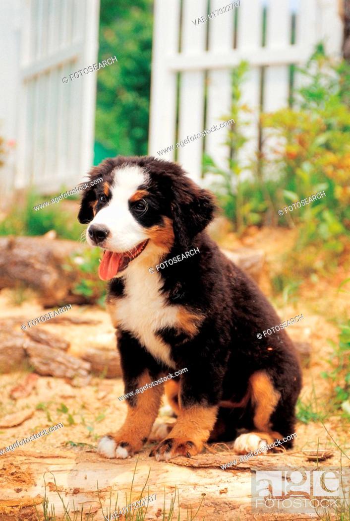 Stock Photo: domestic dog, 35mm, canine, domestic animal, BerneseMountainDog, bernese mountain dog, film.