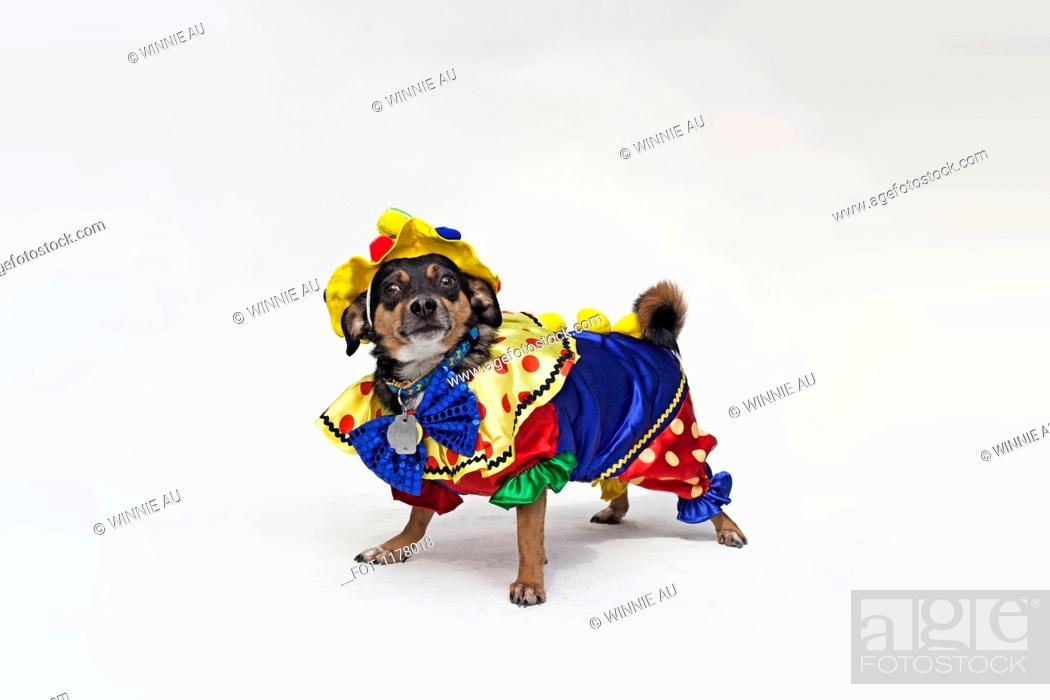 Stock Photo: A mixed Chihuahua wearing a brightly colored clown costume.