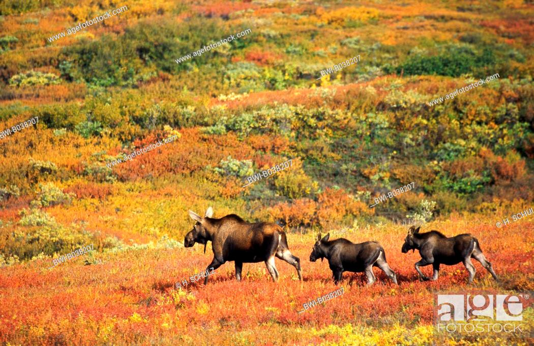 Stock Photo: Alaska moose, Tundra moose, Yukon moose (Alces alces gigas), cow with two calfs in the autumnal tundra, USA, Alaska, Denali NP.