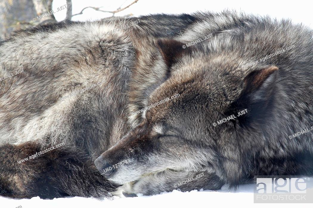 Stock Photo: A grey wolf relaxes on the winter snow at Yellowstone National Park, Wyoming.