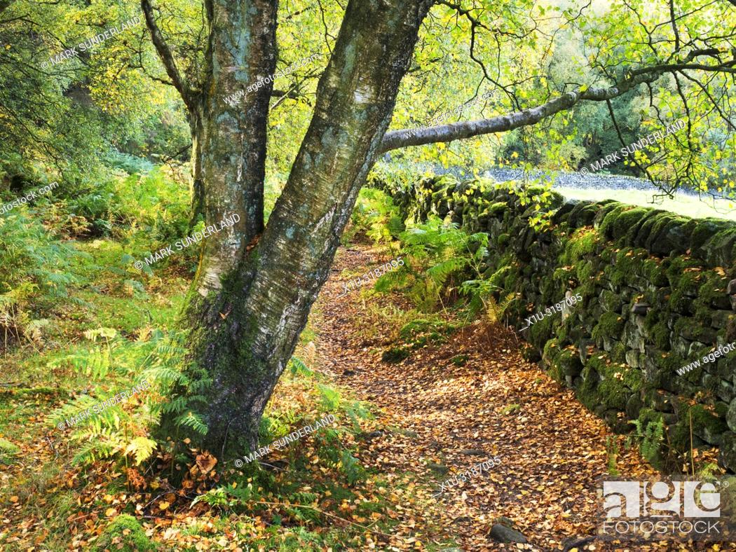 Imagen: Footpath by a mossy stone wall in Skrikes Wood in autumn near Pateley Bridge North Yorkshire England.