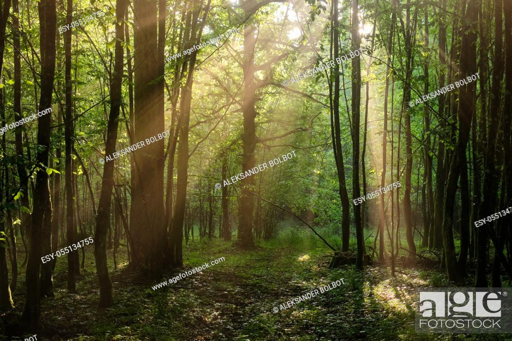 Stock Photo: Sunbeam entering rich deciduous forest in misty morning with path crossing, Bialowieza Forest, Poland, Europe.